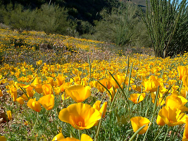 Sonoran Desert Poppies